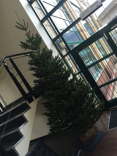11ft Nordmann Fir Xmas Tree
